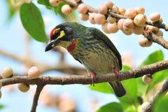 铜匠热带巨嘴鸟1 库存照片