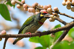 铜匠热带巨嘴鸟2 库存照片