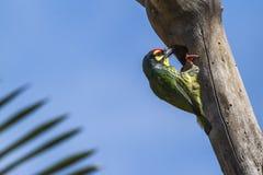 铜匠热带巨嘴鸟 库存图片