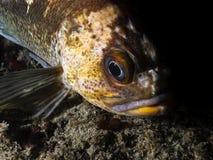 铜石鱼Sebastes caurinus 库存照片