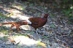 铜野鸡男性在南九州,日本 免版税库存图片