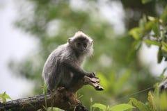 银叶病叶猴 免版税库存照片