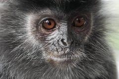 银叶病猴子Trachypithecus cristatus画象  免版税库存图片