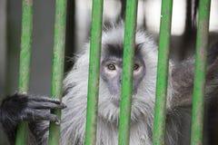 银叶病猴子 库存照片