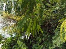 银合欢属Leucocephala 库存图片