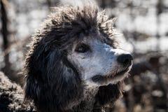 银和灰色的特写镜头上色了特大长卷毛狗 库存照片