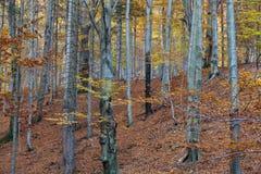银山毛榉树 免版税图库摄影