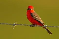 银朱的捕蝇器, Pyrocephalus rubinus,美丽的红色鸟 捕蝇器坐铁丝网有清楚的绿色背景 库存照片