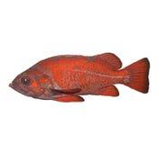 银朱的石鱼 库存照片