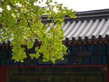 银杏叶子和树在另外看法 采取在北京,池氏 库存图片