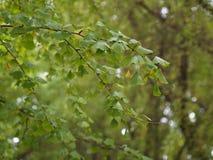 银杏叶子和树在另外看法 采取在北京,池氏 免版税图库摄影