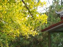 银杏叶子和树在另外看法 采取在北京,池氏 免版税库存图片