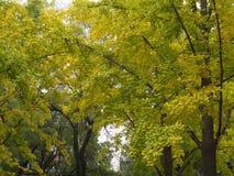 银杏叶子和树在另外看法 采取在北京,池氏 图库摄影