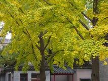 银杏叶子和树在另外看法 采取在北京,池氏 库存照片