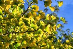 银杏叶子在秋天 免版税库存照片