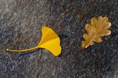 银杏和橡木秋叶 库存照片