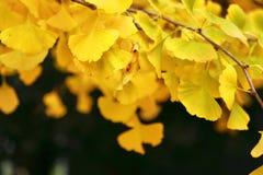 银杏树与黄色叶子的树枝特写镜头  免版税库存图片