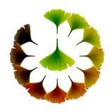银杏树叶子向量 免版税库存图片