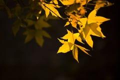 银杏树叶子在秋天 免版税库存图片