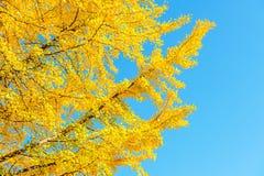 银杏树叶子在秋天 图库摄影