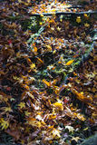 银杏树叶子落,填装地板,在绿草背景 库存图片