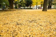 银杏树叶子转动染黄和下跌到地面 库存图片