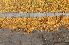 银杏树叶子,日本 免版税库存照片