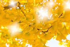 银杏树叶子-秋天到达 免版税库存照片