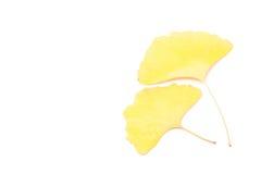 银杏树叶子 免版税库存图片