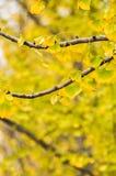 银杏树叶子 图库摄影