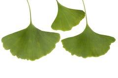 银杏树叶子 库存图片