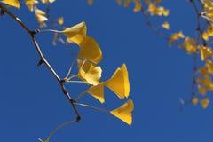 银杏树在秋天天空把飞行留在 免版税图库摄影