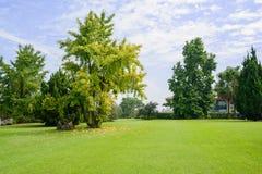 银杏树在象草的草坪在晴朗的秋天天 库存图片