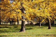 银杏树树丛弗吉尼亚树木园 免版税图库摄影