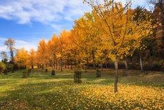 银杏树树丛弗吉尼亚状态树木园Blandy农场 库存图片
