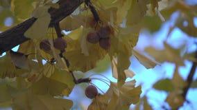 银杏树树和充分成熟的银杏树坚果早晨 影视素材