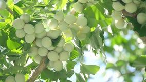 银杏树树和银杏树坚果有嗡嗡叫的蝉 股票录像