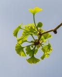 银杏树树枝 库存照片
