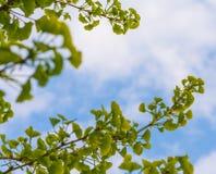 银杏树树枝 免版税库存图片