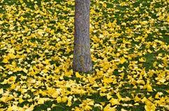 银杏树树的黄色叶子 免版税库存图片