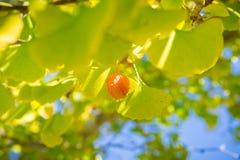 银杏树树金黄果子和黄色叶子在一晴朗的秋天天,加利福尼亚 免版税库存图片