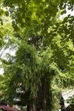 银杏树特写镜头摄影在潭柘寺 免版税库存图片