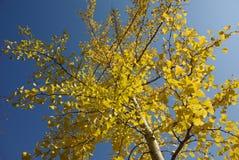 银杏树离开黄色 免版税库存照片