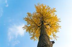 银杏树结构树 免版税库存照片