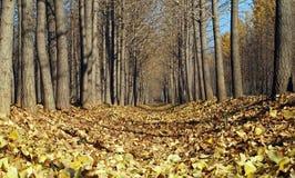 银杏树金黄叶子结构树黄色 库存照片