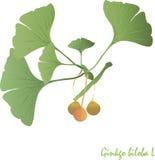 银杏树,绿色叶子,橙色和浅褐色的果子 图库摄影