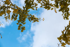 银杏树离开黄色 库存照片