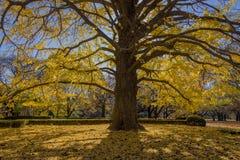 银杏树结构树在秋天 免版税库存照片