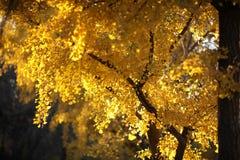 银杏树02的黄色叶子 库存照片