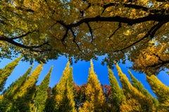 银杏树 库存图片